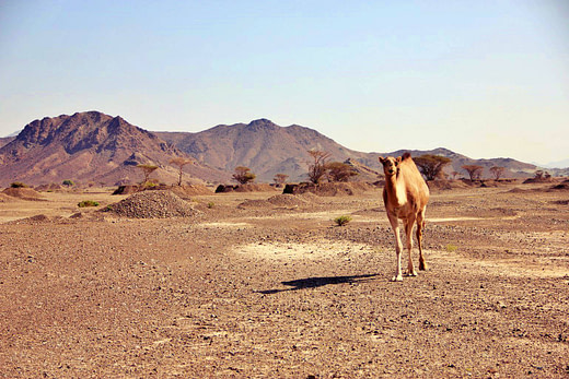 哈塔的野骆驼Offroad_camel
